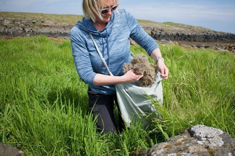 رحلة البحث عن أغلى ريش في العالم من طيور بط في أيسلندا Resg6