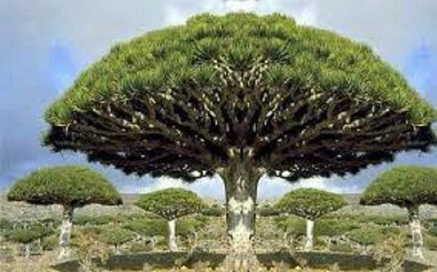 شجرة دم الأخوين باليمن .. تعرّف إلى الأساطير وراء تسميتها بذلك!      تم إنشاءه بتاريخ الأربعاء, 01 تموز/يوليو 2020 07:27   0 Comments                   الغد/دبي– للوهلة الأولى قد تعتقد أن شجرة دم الأخوين هي جزء من إحدى القصص Bluttree.1